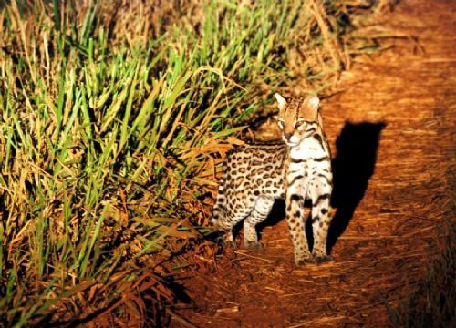 Pantanal Northern Pantanal Night Tour